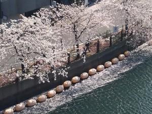 20200404 桜 大岡川